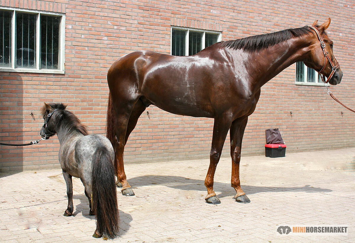 Verschil paard pony kleinste paardenras