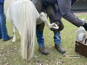 shetlander pony kosten