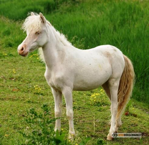 wat kost een falabella paardje