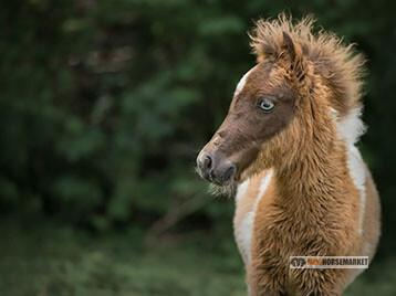 Longeren met een mini paardje