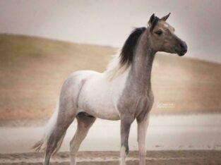 Miniatuur paardje hengst AMHR-NMPRS